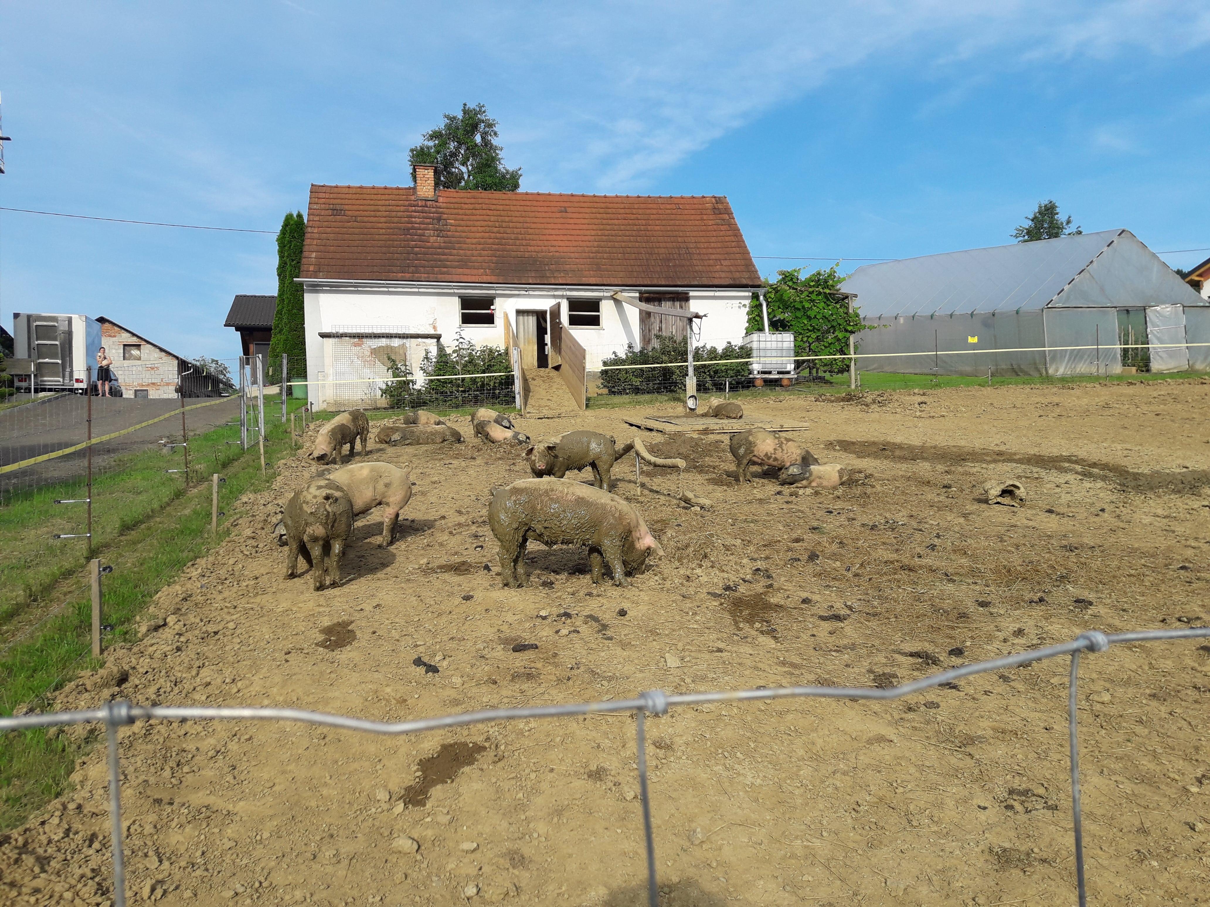 Schweine in artgerechter Auslaufhaltung
