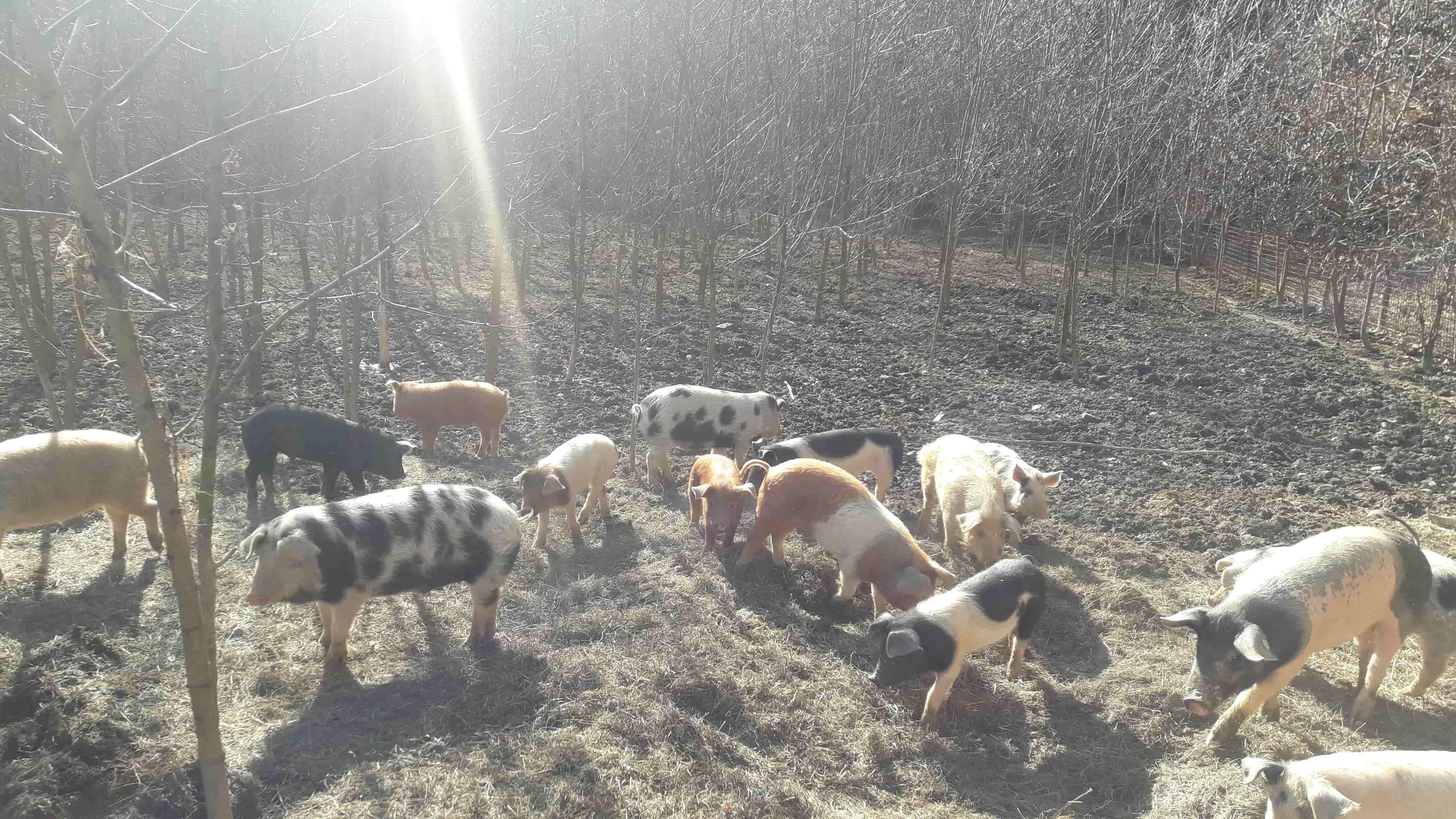 Schweine in Freilandhaltung beim kleinen, liebevollen Nebenerwerbsbauern Manfred Hofer.
